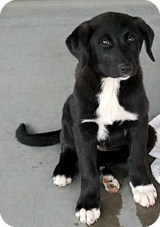 Labrador Retriever/Great Pyrenees Mix Puppy for adoption in Woodland, California - Olive