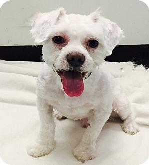 Shih Tzu Mix Dog for adoption in Newark, New Jersey - Spike