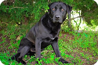 Labrador Retriever Mix Dog for adoption in Henderson, Tennessee - Toby