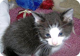 Domestic Shorthair Kitten for adoption in San Leandro, California - Fudge