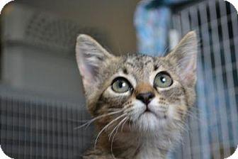Domestic Shorthair Kitten for adoption in Edwardsville, Illinois - Ezra