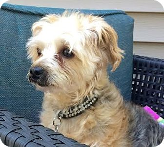 Yorkie, Yorkshire Terrier/Poodle (Miniature) Mix Dog for adoption in Union Grove, Wisconsin - Cosmo-PENDING!!!