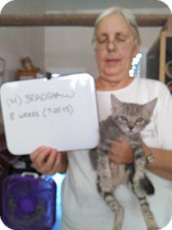 Domestic Shorthair Kitten for adoption in Mesa, Arizona - BRADSHAW 8 WK MALE TABBY