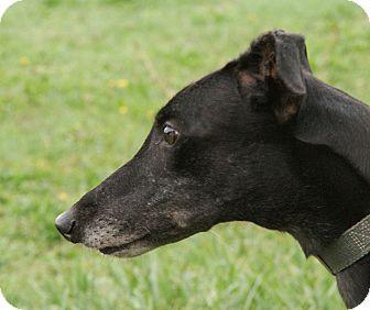 Greyhound Dog for adoption in Portland, Oregon - Polly