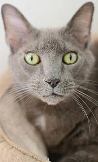 Russian Blue Cat for adoption in Hilton Head, South Carolina - Jax