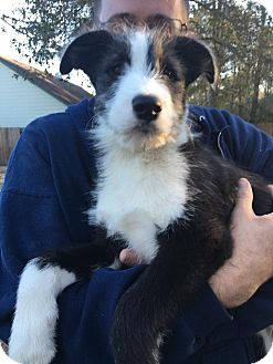 Old English Sheepdog/Husky Mix Puppy for adoption in San Jose, California - Milo