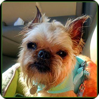 Brussels Griffon Dog for adoption in Seymour, Missouri - PUDGE - ADOPTION PENDING