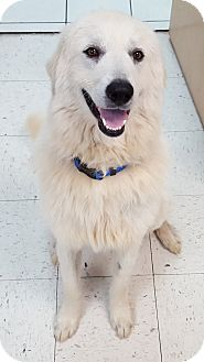 Great Pyrenees Mix Dog for adoption in Spring Valley, New York - Richard