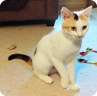 Calico Kitten for adoption in Merrifield, Virginia - Calypso