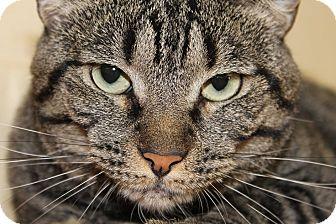 Domestic Shorthair Cat for adoption in Glendale, Arizona - Layla