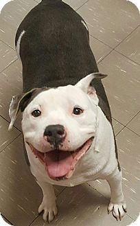 Staffordshire Bull Terrier Mix Dog for adoption in Las Vegas, Nevada - Romeo
