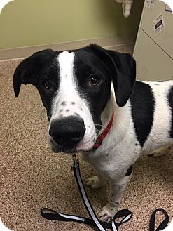 Labrador Retriever/Border Collie Mix Dog for adoption in ST LOUIS, Missouri - Andre