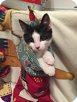 Domestic Shorthair Kitten for adoption in Tampa, Florida - Dancer
