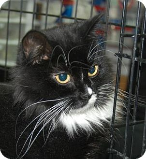 Domestic Shorthair Cat for adoption in Brooklyn, New York - Emily
