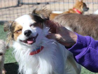Chihuahua Mix Dog for adoption in Colorado Springs, Colorado - Conner