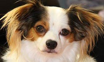 Chihuahua Dog for adoption in Colorado Springs, Colorado - Conner