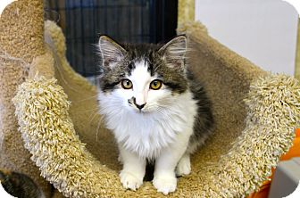 Domestic Mediumhair Kitten for adoption in Smithers, British Columbia - Maime