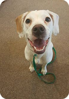 Beagle Mix Dog for adoption in West Allis, Wisconsin - Baylee