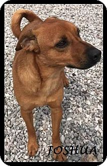 Shepherd (Unknown Type)/Terrier (Unknown Type, Small) Mix Dog for adoption in Batesville, Arkansas - Joshua