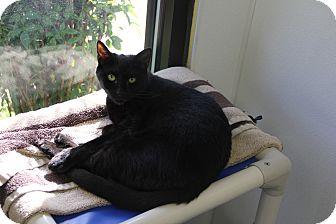 Domestic Shorthair Cat for adoption in Greensboro, North Carolina - Slinky