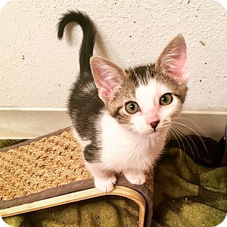 Domestic Shorthair Kitten for adoption in Fort Collins, Colorado - Velcro