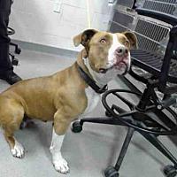 Adopt A Pet :: A144158 - Salinas, CA