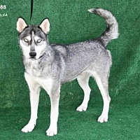 Adopt A Pet :: *DAZZLE - Hanford, CA