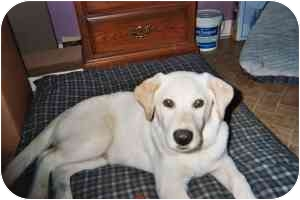 Labrador Retriever Mix Dog for adoption in kennebunkport, Maine - Buddy Bear - PENDING!