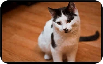 Domestic Shorthair Kitten for adoption in Montreal, Quebec - Ferrell