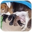Photo 3 - Beagle Mix Puppy for adoption in Howell, Michigan - Cocco
