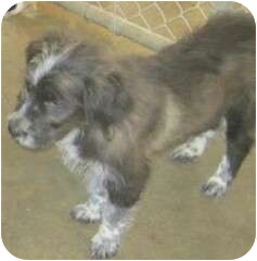 Golden Retriever/Poodle (Miniature) Mix Puppy for adoption in Hammonton, New Jersey - Johnny Walker