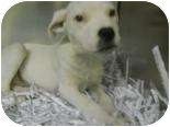 Setter (Unknown Type) Mix Puppy for adoption in Edwardsville, Illinois - Faith