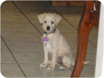 Schnauzer (Miniature)/Yorkie, Yorkshire Terrier Mix Puppy for adoption in Arlington, Texas - Angel