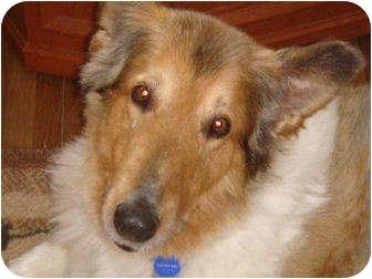 Collie Dog for adoption in Minneapolis, Minnesota - Caesar