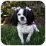 Photo 3 - Cavalier King Charles Spaniel/Shih Tzu Mix Dog for adoption in Newport Beach, California - FAYE
