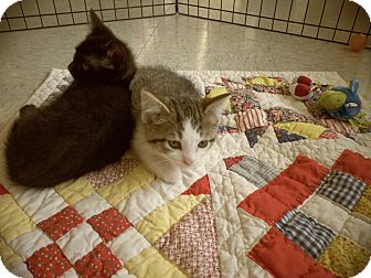 Domestic Shorthair Kitten for adoption in Silver Lake, Wisconsin - Nokolai