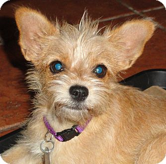 Podengo Portugueso/Yorkie, Yorkshire Terrier Mix Puppy for adoption in Santa Ana, California - Brea