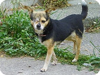 Chihuahua Mix Dog for adoption in Vancouver, British Columbia - Ivy