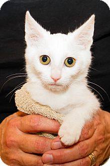 Domestic Shorthair Kitten for adoption in Irvine, California - Siri