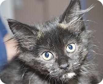 Domestic Longhair Kitten for adoption in Columbia, Illinois - Vonya