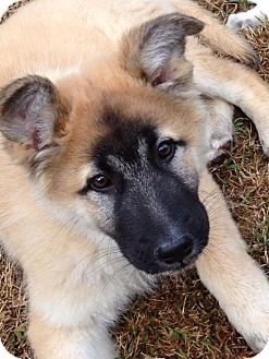 German Shepherd Dog Mix Puppy for adoption in Torrance, California - BERT