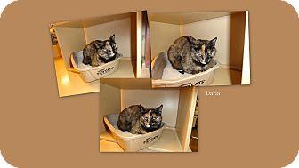 Calico Cat for adoption in Sierra Vista, Arizona - Darla