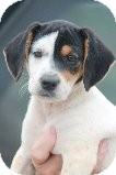 Beagle/Jack Russell Terrier Mix Puppy for adoption in Russellville, Kentucky - Bandit