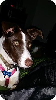 Border Collie Puppy for adoption in Puyallup, Washington - Baby Boo
