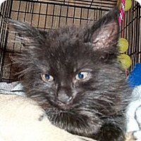 Adopt A Pet :: Long Haired Black - Acme, PA