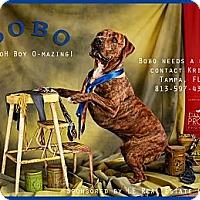 Adopt A Pet :: Bo - Cantonment, FL