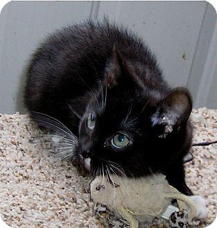 Domestic Shorthair Kitten for adoption in Glenwood, Minnesota - Xavier