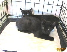 Domestic Shorthair Kitten for adoption in Phoenix, Arizona - Tinker and Tonka