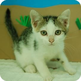 Domestic Shorthair Kitten for adoption in Bradenton, Florida - Anna