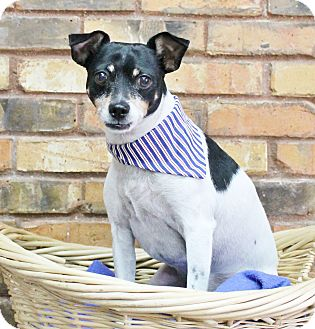 Rat Terrier Mix Dog for adoption in Benbrook, Texas - Spanky